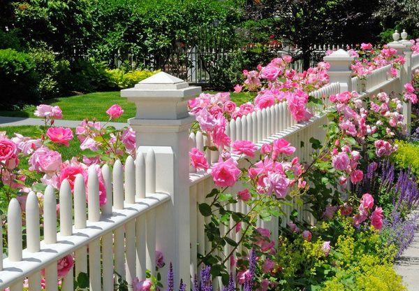 garden fence and blooming roses